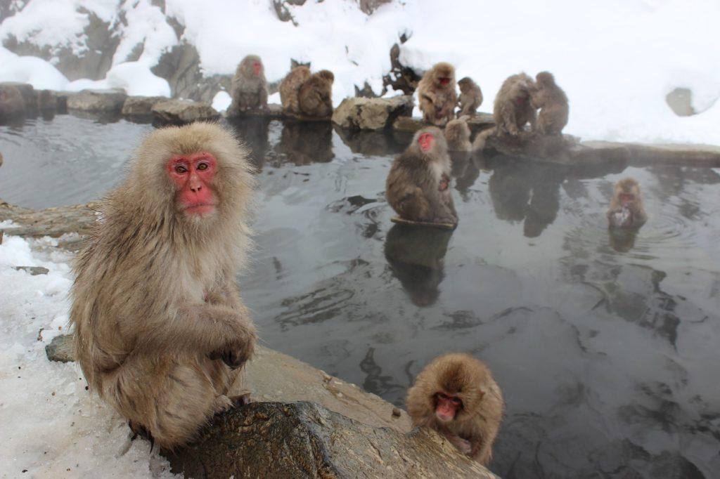 tabizaru-review-jigokudani-monkeys